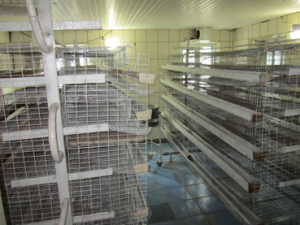 When the quails hatch from their eggs they are placed on these metal racks where they receive food and water.